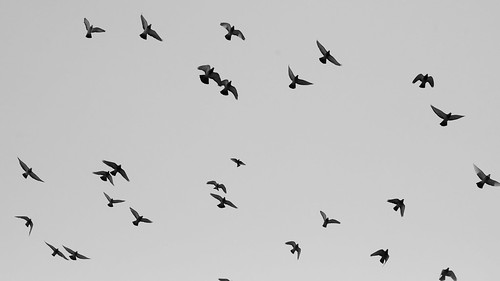 Flock of Pigeons | by S.D.