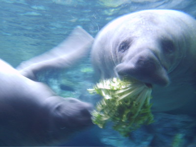 manatee eating lettuce the manatees looked happiest of all flickr