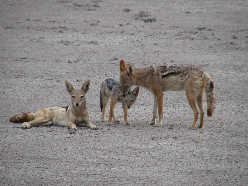 Jackal Family | Lots of animals time the birth of their ...