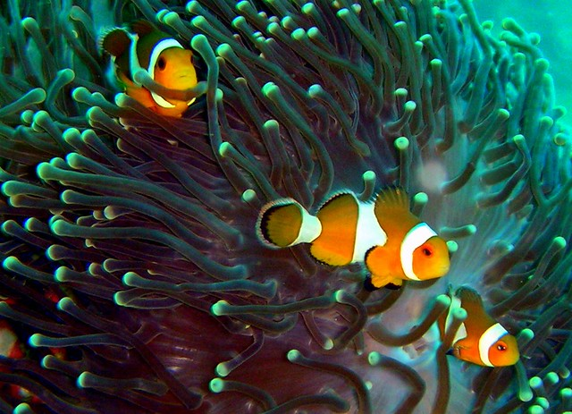 Clownfishes on Koh Ha Yai Island | taken while scuba diving ...