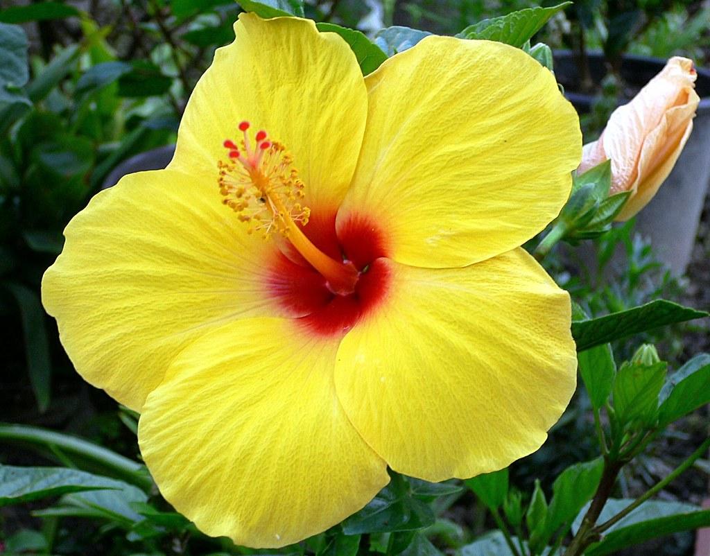 Hibiscus Giallo Hibiscus Rosa Sinensis Linn Family