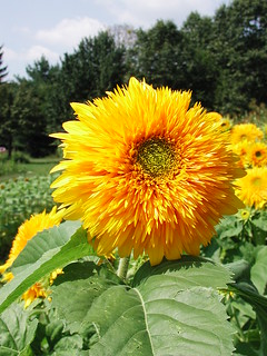 Sunflower Tohoku Yae | by photofarmer