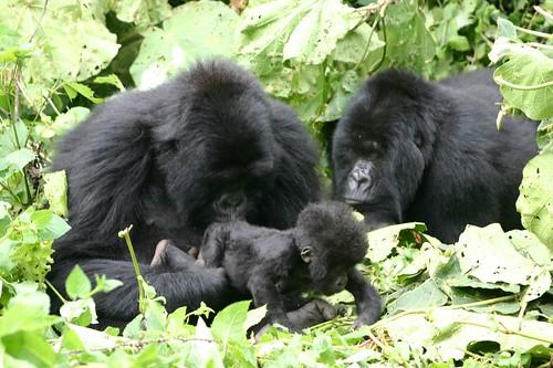 Momma gorilla sniffing baby's bum while auntie looks on, Volcanoes National Park, Rwanda | by Derek Keats