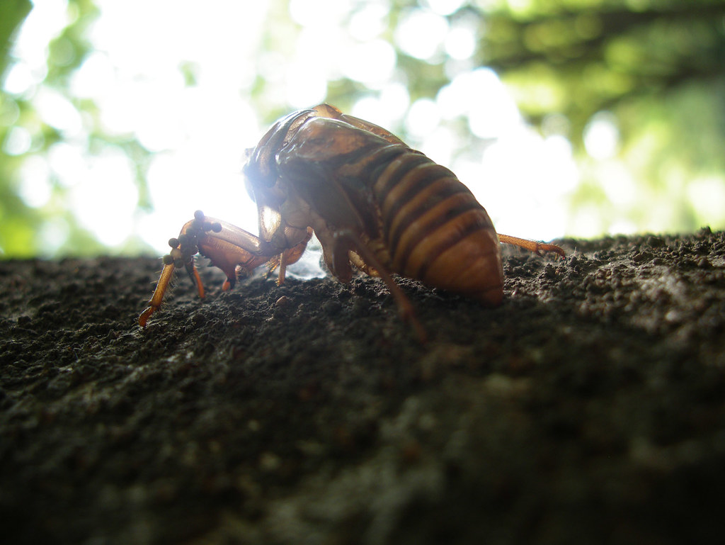 how to find cicada shells