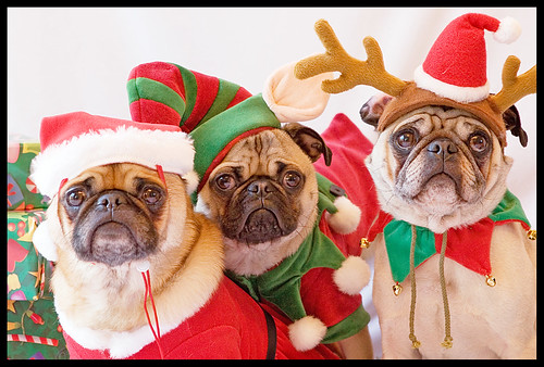 The Trio - Pug Christmas Portrait | by [Christine]