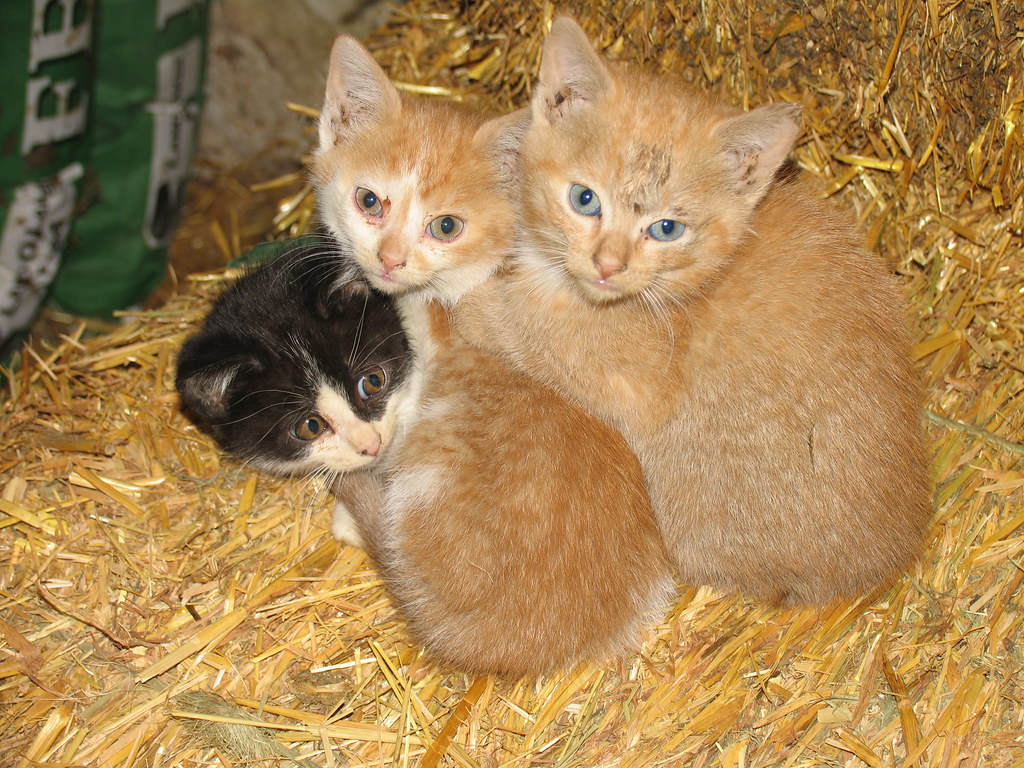 what is conjunctivitis in cats