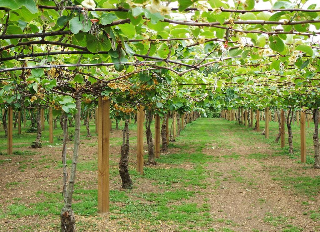 Kiwi fruit vines kiwi fruits are trained to grow on for Kiwi pianta