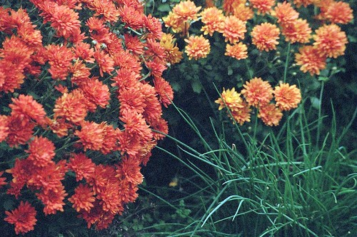 Mums and chives | by Plutor