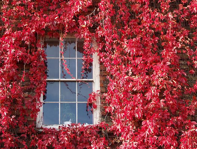Autumn window virginia creeper view on black chris - Plantas trepadoras para muros ...
