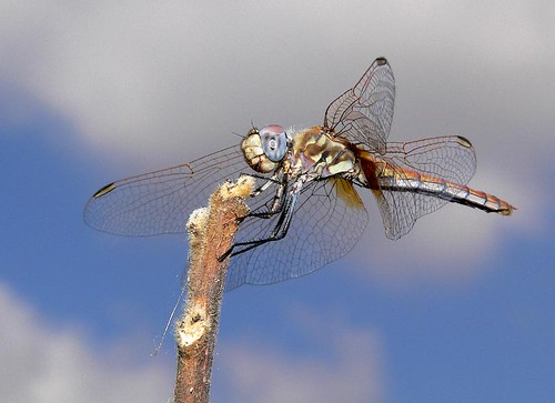 Sympetrum striolatum | by Calogero Muscarella