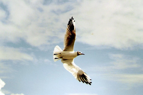seagull in flight #01 | by cool_colonia4711