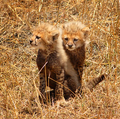 Cheetah cubs | by christopherphoto