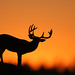 ...Sunset Buck...