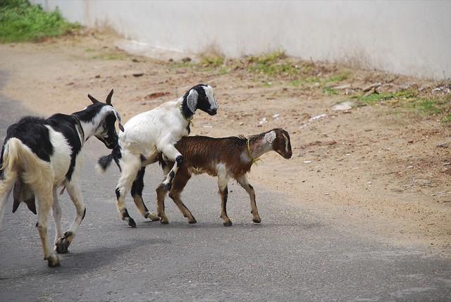 Секс козы