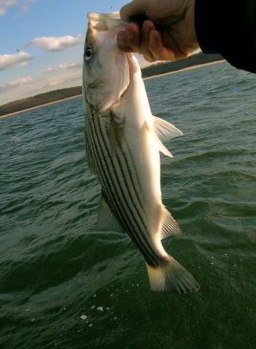 Striped Bass #1 | by Dr.DeNo