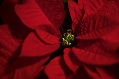 Poinsettia | by Southernpixel - Alby Headrick