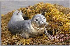 Lubec Harbor Seal