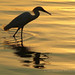 ahoy♪ an aperitif in the sunset...♫ great egret from singapore♫
