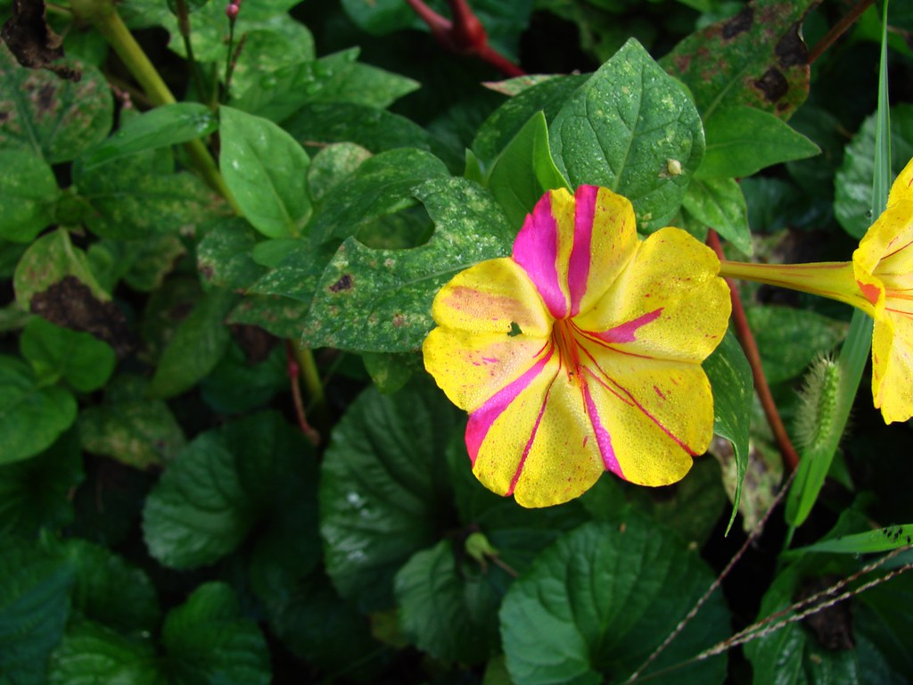 Variegated Yellow And Magenta Four Oclock This Plant Evi Flickr