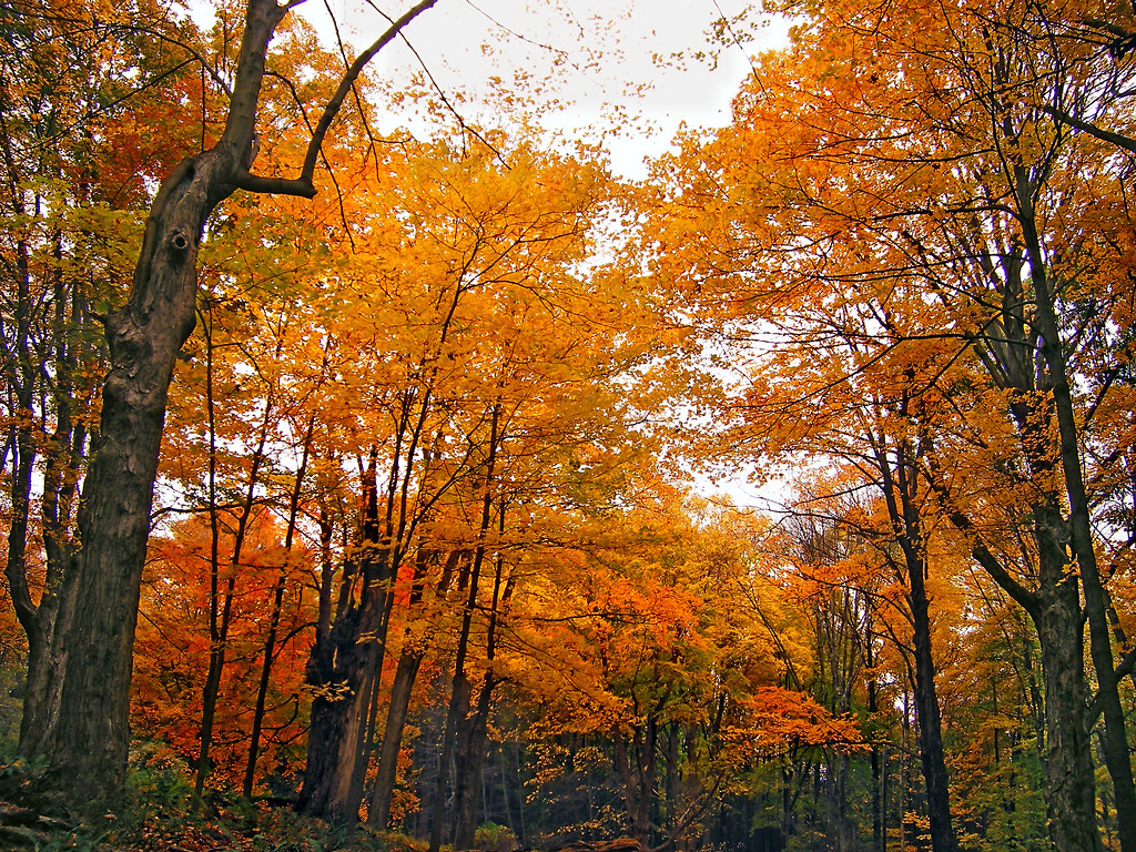 Upward Deciduous Forest And Overcast Sky Old Mine Road