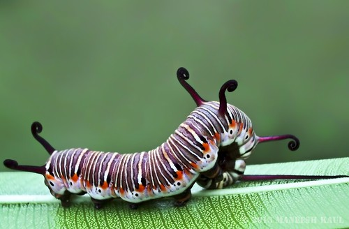 Common Indian Crow Butterfly's Caterpillar-India | by Maneesh Kaul