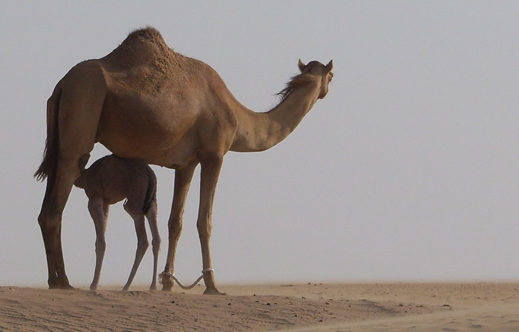 King Of The Desert Hisham Binsuwaif Flickr
