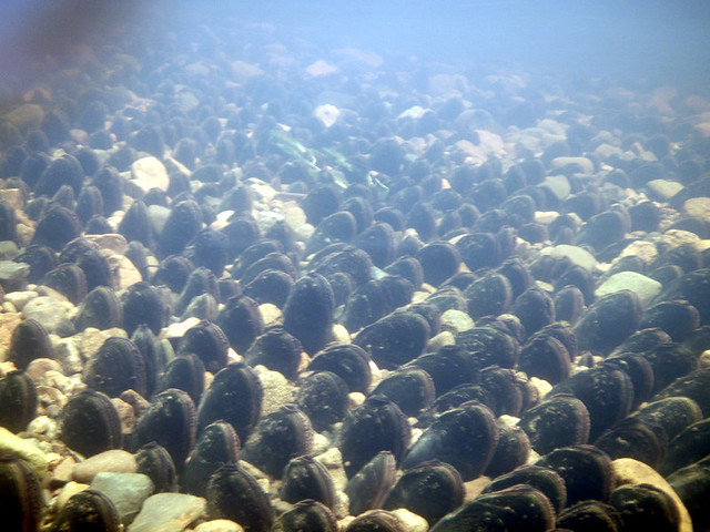 Mussel Bed 1 Freshwater Mussels In Riverbed British