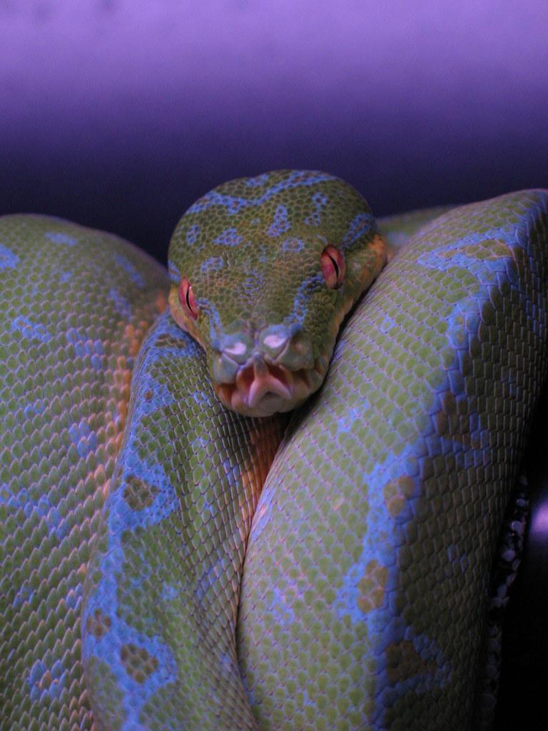 Purple tree python