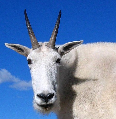 White Mountain Goat Against a Blue Sky | Mountain goat in ...
