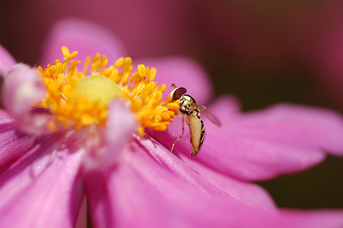 Hover Fly Macro | by Kirby_Ski