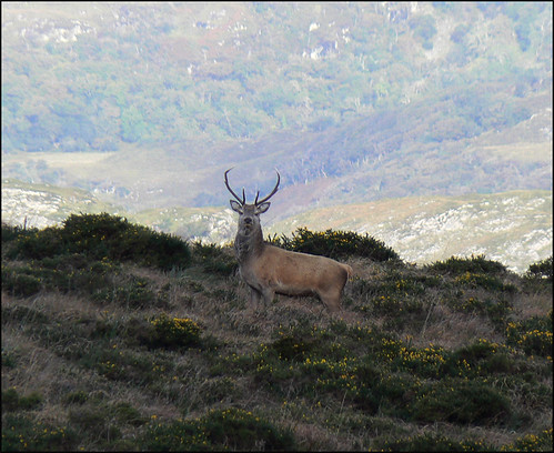 Red Deer near Torc, Killarney | by mozzercork