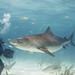 Diver dwarfed by Tiger Shark