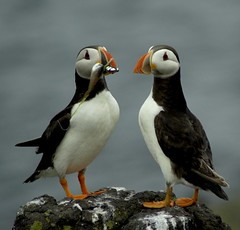 Sharing is Sweet - Puffins in Love | by Magdalen Green Photography