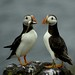 Sharing is Sweet - Puffins in Love