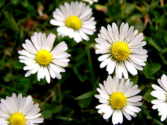 Lawn daisies | by sirwiseowl