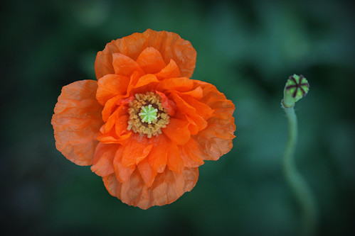 Orange poppy and seedhead | by kelpie1