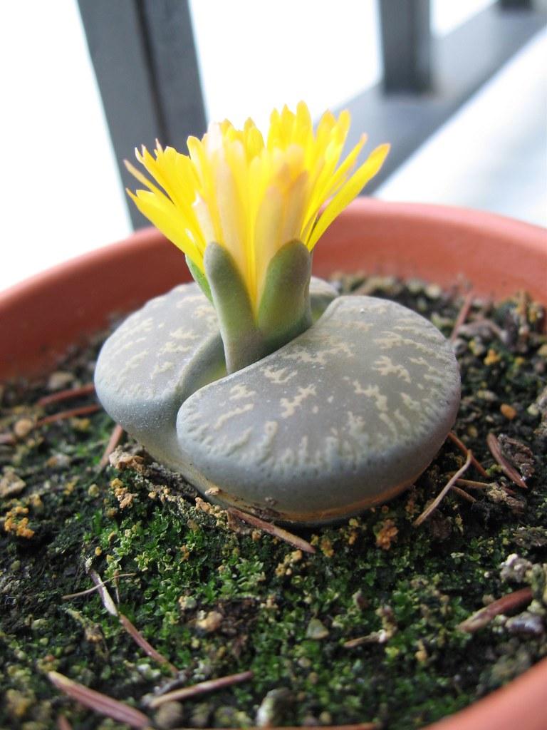 Flor cactus piedra Luis PF Flickr