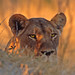 stealthily, the queen's mad-eyes...♫ wildilife from zimbabwe ♫