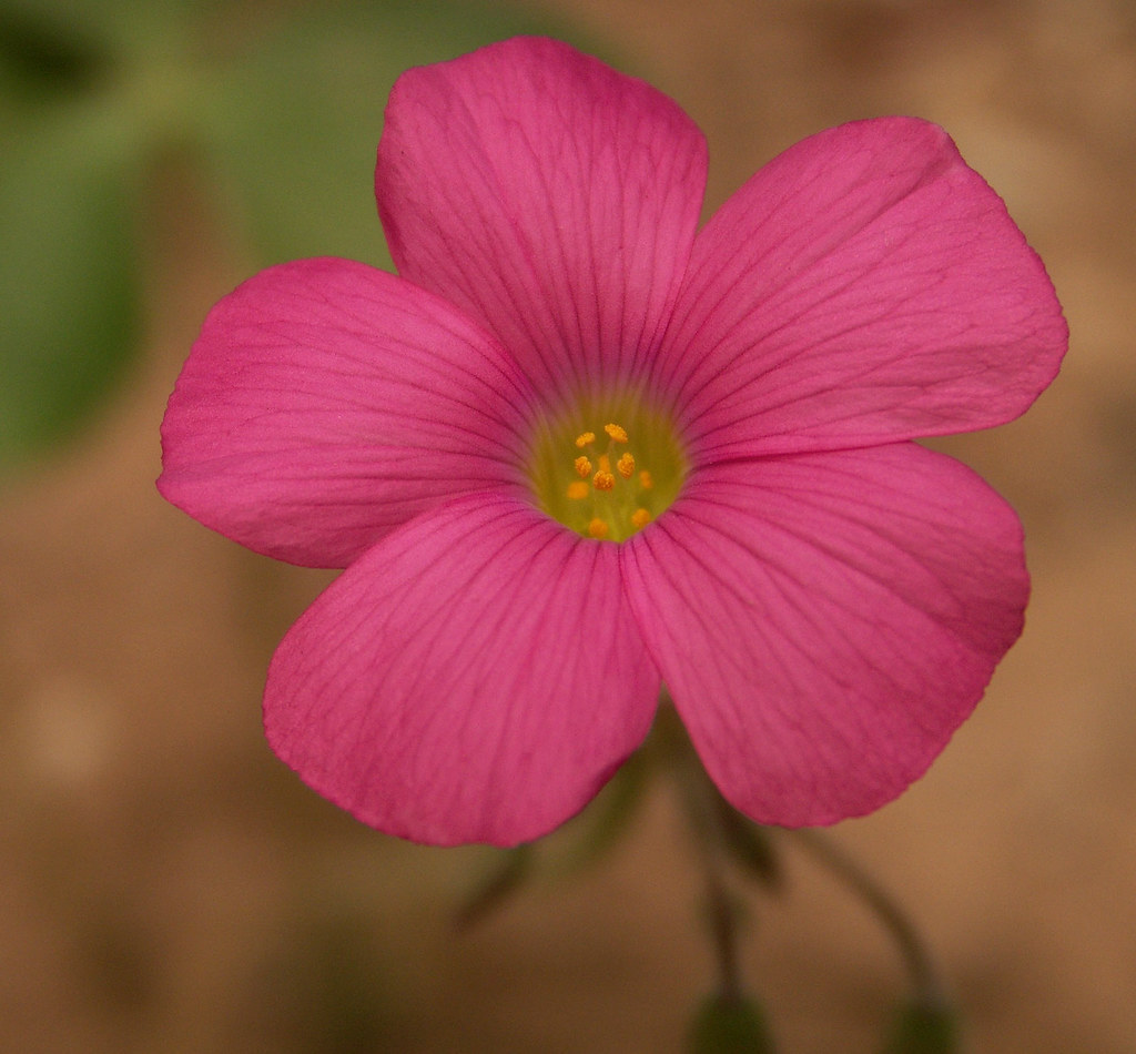 Pink flower oxalis weed macro if you remember seeing eith flickr pink flower oxalis weed macro by cobalt123 mightylinksfo