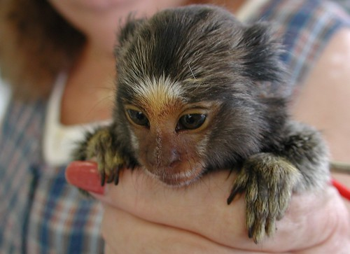 Pygmy Marmoset Monkey | by Scott Kinmartin