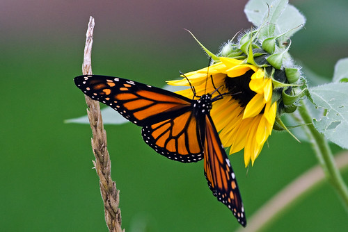 Corn and sunflower (butterfly is optional) | by Unhindered by Talent