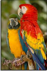 Parrots 9108