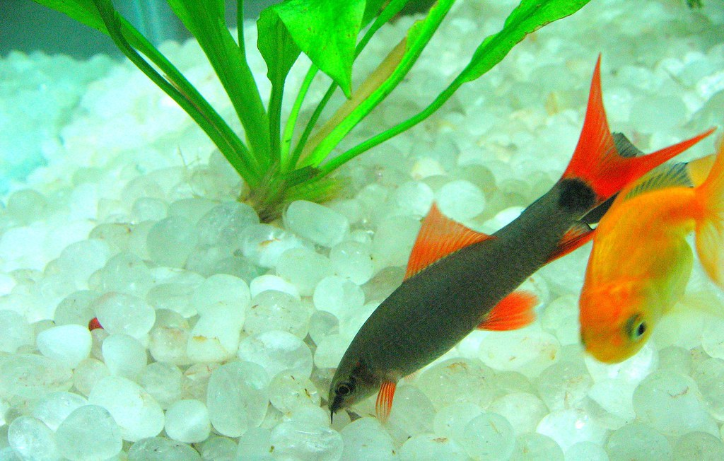 Rainbow Shark And Goldfish Soumya Kundu Flickr