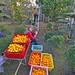 Lots of Mikan (Oranges)