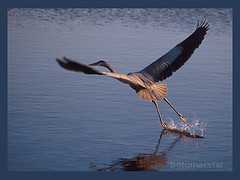 Wild Great Blue | by potomacstar - give, it shall be given to you...