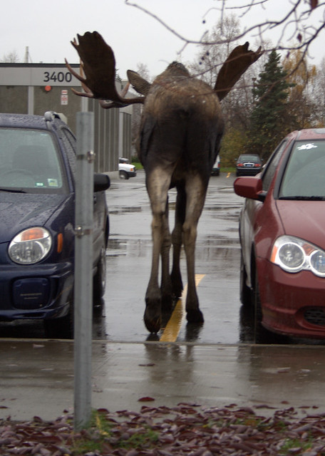 Reverse Parking A Young Bull Moose In The Parking Lot At