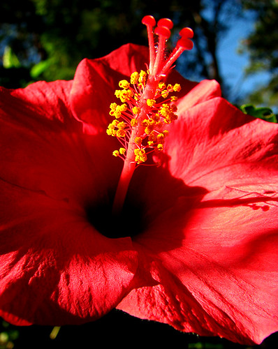 Hibiscus | by i m n a s