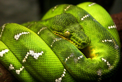 green.snake.2 | by mathieujarryphoto