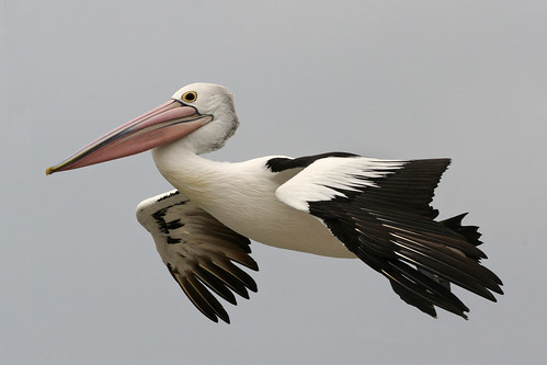 Pelican in flight | by kelpie1