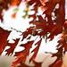 Glorious Fall Oak Leaves